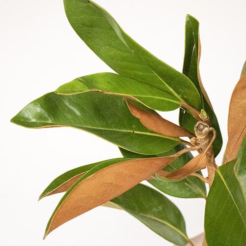 Magnolia Greenery