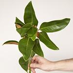 Magnolia - Buy Bulk FREE SHIPPING!