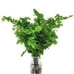 Rhombs Fern - Buy Bulk FREE SHIPPING!