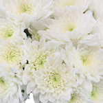 Daisy White Spray Dahlia Style Flower