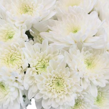 Daisy White Spray Dahlia Style Flower