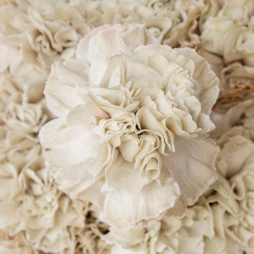 Maka Beige Carnation Flowers Up Close