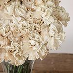 Maka Beige Carnation Flowers in a Vase Close Up