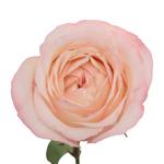 Make me Blush Garden Rose Stem
