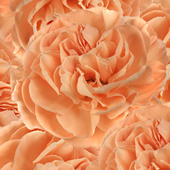 Mambo Peach Wholesale Carnations Up close