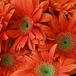 Gerbera Daisy Mandriana Orange Wholesale Flower Up close