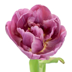Margarita Plum Berry Double Tulip Wholesale Flower Up close