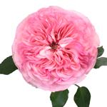 Maria Theresia Pink Garden Rose Stem