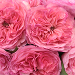 Maria Theresia Pink Garden Roses up close