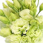 Mariachi Green Designer Lisianthus Wholesale Flower Upclose