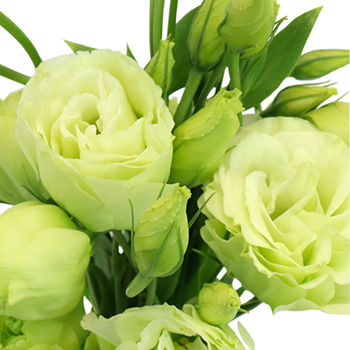 Green Lisianthus Flower for June to September Delivery