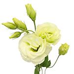 Lisianthus_Cut_Flower_Green