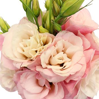 Mariachi Light Pink Lisianthus Wholesale Flower Upclose
