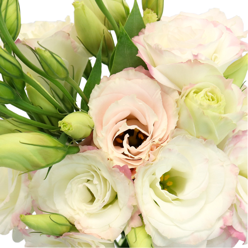 Kiss of Blush Lisianthus Wholesale Flower
