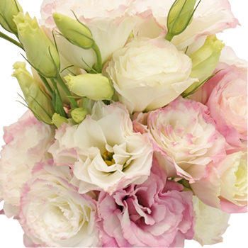 Kiss of Blush Designer Lisianthus Flower for October to May Delivery