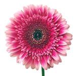 Gerbera Daisy Mariatta Magenta Flower Up close