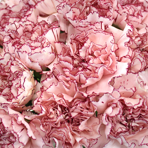 White and Purple Carnation Flowers