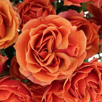 Marlene Dark Orange Spray Roses up close