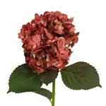 Marsala Hydrangea Wholesale Flower Up close