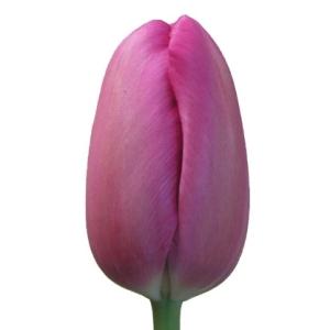 Mauve Purple French Tulip Wholesale Flower Up close