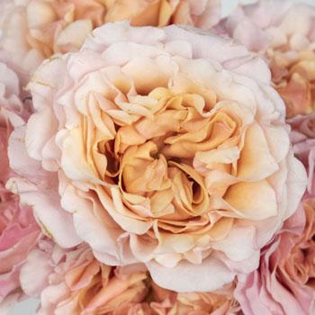 Peony Rose Peach Ruffles