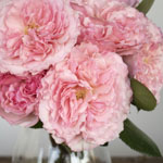 mayra pink garden roses wedding flowers for delivery