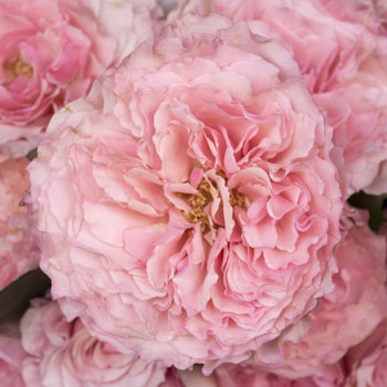 Mayra Pink Garden Roses up close