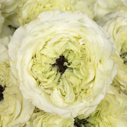 Antique Keepsake Garden Rose
