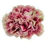 Merletto Crimson Champagne and Wine Carnation Flower Bloom