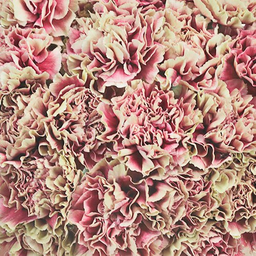 Merletto Crimson Champagne and Wine Wholesale Carnations Up close