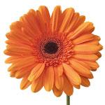 Gerbera Daisy Mette Orange Wholesale Flower Up close