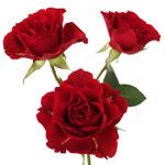 Mikado Light Red Spray Rose Stem