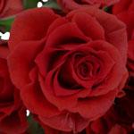 Mikado Light Red Spray Roses up close