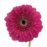Bulk Gerrondo Daisy Flower Purple Dark Pink