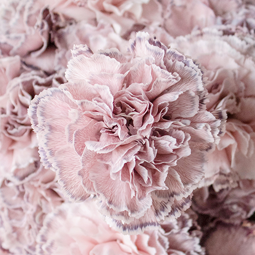 Mine Dusty Pink Carnation Flowers Up Close