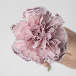 Mine Dusty Pink Carnations side stem