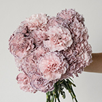Mine Dusty Pink Carnation Flower In a hand