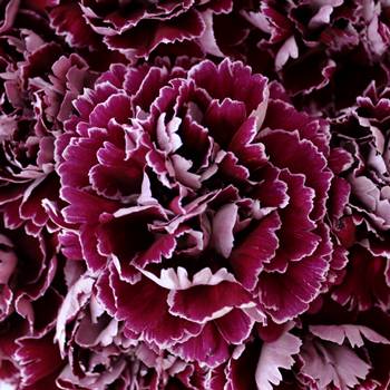 Minerva Purpleberry Wholesale Carnations Up close