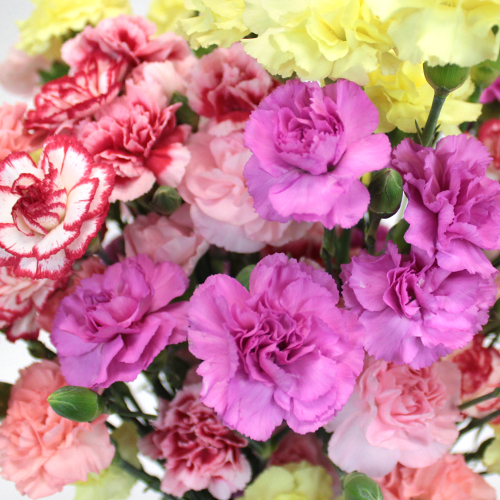 Farm Mix Mini Carnation Flowers