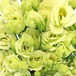 Mini Double Rosita Green Lisianthus Wholesale Flower Upclose