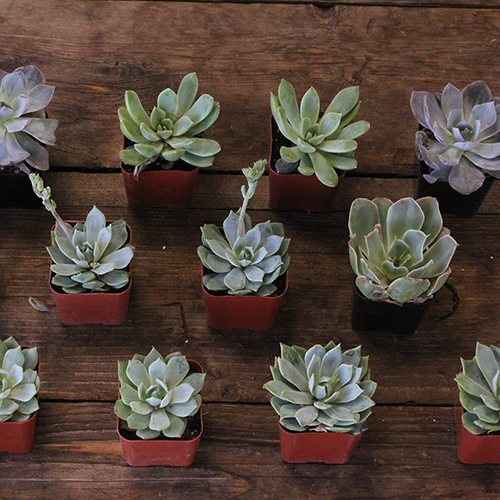 Farm Fresh Potted Mini Succulents For Your House