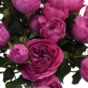 Mini Princess Pink Garden Roses up close