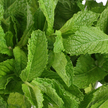 Fresh Cut Mint Herb for Flower Arranging
