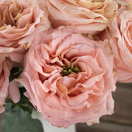 Miso Pretty Garden Roses up close