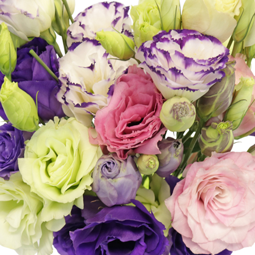 Mixed Color Lisianthus Wholesale Flower Upclose