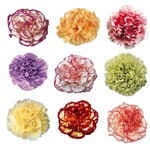 Mixed Color Carnation Flowers Express Delivery FlatLay