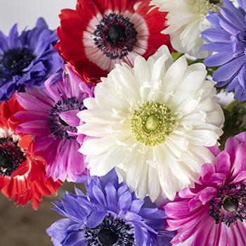 Assorted Rainbow Star Anemones