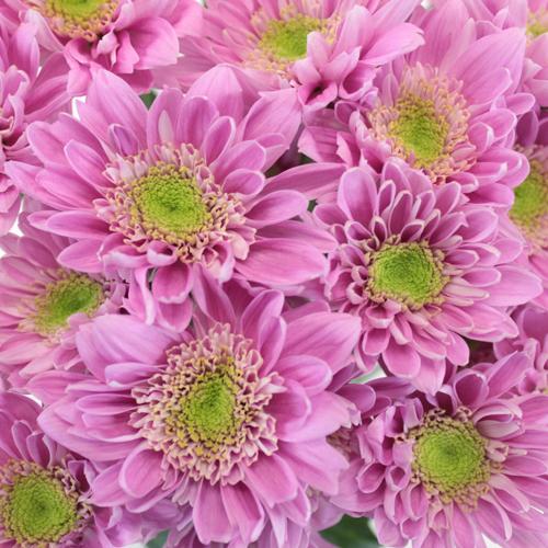 Soft Lilac Novelty Fresh Flower
