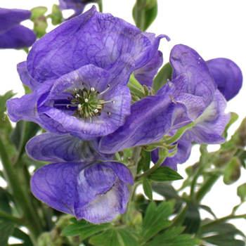 Monkshood Wholesale Flower