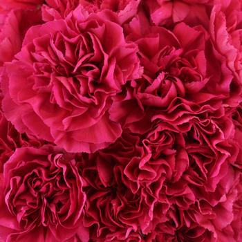 Dark Pink Carnation Flowers